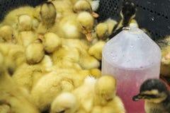 Wiele nowonarodzone kaczki obrazy royalty free