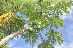 Wiele organicznie melonowiec na drzewie Fotografia Royalty Free