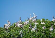 Wiele pelikany siedzi w wierzchołku namorzynowi drzewa na pelikan wyspie, Casamance, Senegal, Afryka Zdjęcia Royalty Free