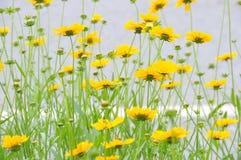 Wiele piękni dzicy chryzantema kwiaty obrazy stock