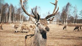 Wiele piękny brown rogacz i źrebięta chodzi w naturze Stado dzikie zwierzęta pasa na jesieni łące zbiory wideo