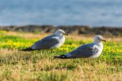 Wiele piękni seagulls Zdjęcie Stock