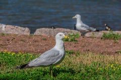 Wiele piękni seagulls Obraz Stock