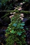Wiele pieczarki na mechatym i porosłym drzewnym bagażniku obrazy royalty free