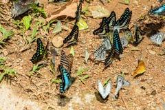 Wiele pieridae motyle karmią kopalinę w solankowym bagnie w f Obraz Royalty Free