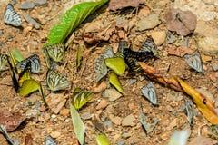 Wiele pieridae motyle karmią kopalinę w solankowym bagnie w f Zdjęcie Stock
