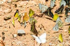 Wiele pieridae motyle karmią kopalinę w solankowym bagnie w f Obrazy Royalty Free