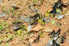 Wiele pieridae motyle karmią kopalinę w solankowym bagnie w f Zdjęcie Royalty Free