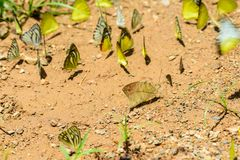 Wiele pieridae motyle karmią kopalinę w solankowym bagnie w f Obrazy Stock