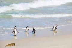 Wiele pingwiny na plaży obraz stock