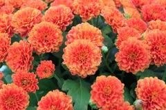 Wiele pomarańcze kwiaty Zdjęcie Stock