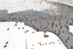Wiele ptaki alpy objętych domowej sceny zimy małe szwajcarskie śnieżni lasu Obraz Stock