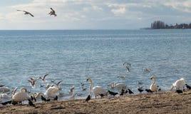 Wiele ptaki na jeziorze fotografia stock