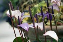 Wiele Purpurowi Anthurium kwiaty Obrazy Stock