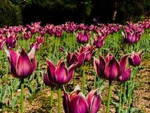 Wiele purpurowi tulipanów kwiaty Zdjęcie Royalty Free