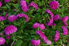 Wiele purpurowy aster Obrazy Stock