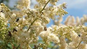 Wiele różni insekty zbierają nektar od kwitnienie kwiatów na gałąź Zako?czenie Biali kwiaty na gałąź są zdjęcie wideo