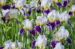 Wiele różnobarwni irysy na kwiatu łóżku Zdjęcia Stock