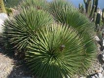 Wiele różnorodni kaktusy różny rozmiar Kultywacja kaktusy obraz stock