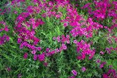 Wiele różowy kwiat w ogródzie Obrazy Royalty Free