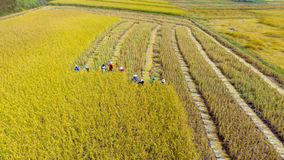 Wiele rolnik zbiera ryż w ziemi uprawnej, Zbiera jest pro obraz stock