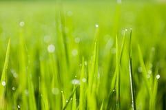 Wiele rosy bokeh na ryżowej roślinie zdjęcie stock