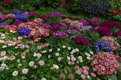 Wiele rozmaitość kolorowa i urocza zima kwitną w ogródzie botanicznym w Chiang Mai, Tajlandia obrazy royalty free