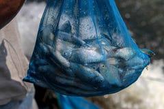 Wiele słodkowodna ryba w błękitnej siatki torbie obrazy royalty free
