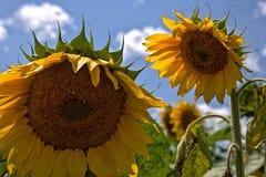 Wiele słoneczniki w polu zdjęcia stock