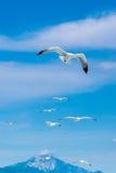 Wiele seagulls lata wpólnie po jeden lidera Obrazy Stock
