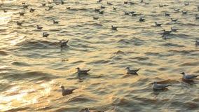 Wiele seagulls spławowi i relaksują na wodzie przy wieczór zbiory wideo