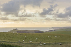 Wiele sheeps na gospodarstwie rolnym Zdjęcia Royalty Free