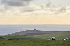Wiele sheeps na gospodarstwie rolnym Fotografia Stock