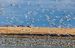 Wiele Snowgeese oddawanie, lądowanie przy jeziorem i Zdjęcie Stock