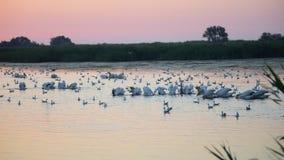 Wiele wielcy biali pelikany furażują na wodzie przy świtem otaczającym wiele seagulls w ranku zbiory