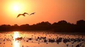 Wiele wielcy seagulls na wodzie przy świtem i zdjęcie wideo