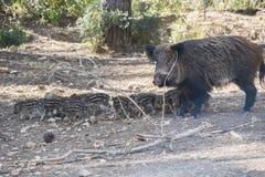 Wiele wokoło jej matki w Cazorla młody dziki knur, Jaen, Hiszpania obraz stock