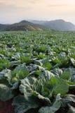 Wiele zielone kapusty w rolnictw polach przy Phutabberk Phet Obraz Stock