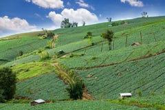 Wiele zielone kapusty w rolnictw polach przy Phutabberk Phet Obrazy Stock