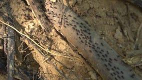 Wiele ziemni termity na gałąź zdjęcie wideo