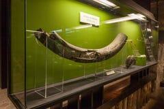 Wieliczka, Poland. Giant mammoth tusk. Royalty Free Stock Photos