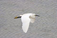 wielką heron lata zdjęcie stock