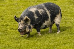 Wielka świnia spaceruje przez pola zdjęcia stock