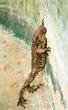 Wielka żaba. zdjęcia royalty free
