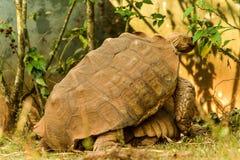 Wielka Afrykańska Tortoise kotelnia Zdjęcia Royalty Free