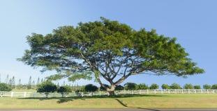 Wielka akacja lub koa drzewo Kauai obraz royalty free