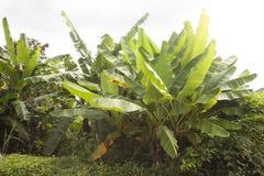 wielka bananów ' blisko green zostaw drzewa Obraz Royalty Free
