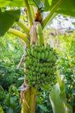 wielka bananów ' blisko green zostaw drzewa Obraz Stock