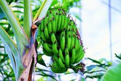 wielka bananów ' blisko green zostaw drzewa Fotografia Royalty Free