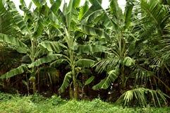 wielka bananów ' blisko green zostaw drzewa zdjęcie royalty free